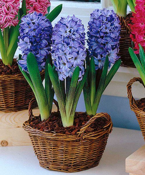 Bulbs - Planting hyacinths indoors ...