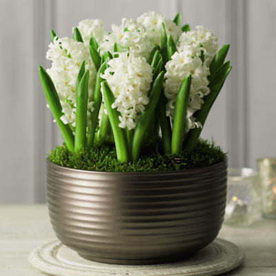 white hyacinth bowl